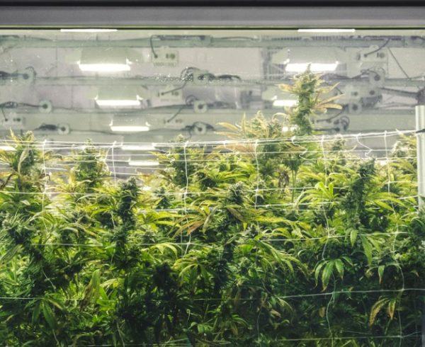 marijuana-workplace-safety